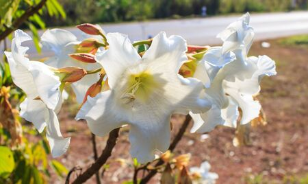 easter lily: White flower Easter Lily Vine.