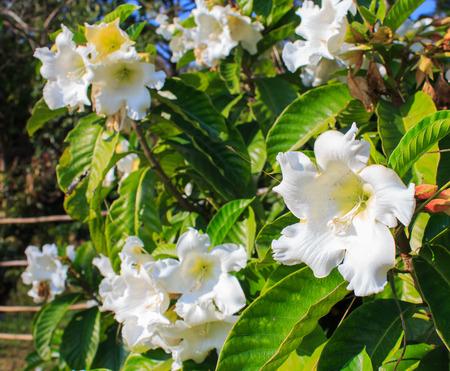 White flower easter lily vine stock photo picture and royalty free stock photo white flower easter lily vine mightylinksfo
