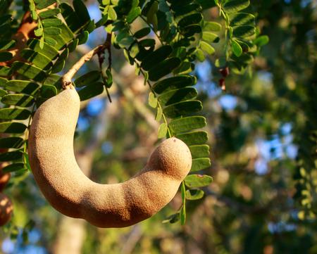 tamarindo: Tamarind en �rbol