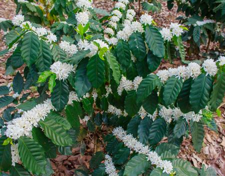 Koffie boom bloesem met witte kleur bloem
