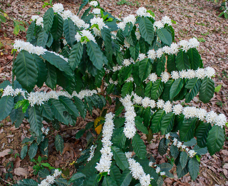 coffee tree: Coffee tree blossom with white color flower