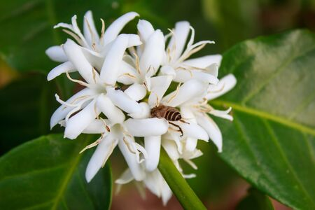 arbol de cafe: Flor del �rbol de caf� con la flor de color blanco Foto de archivo