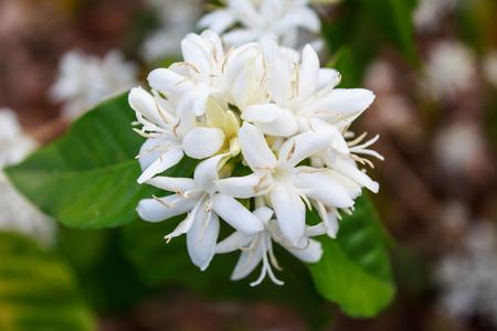 De boombloesem van de koffie met witte kleurenbloem