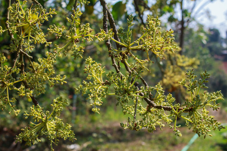 to thrive: avocado tree with a lot of new flowers in thailand Stock Photo