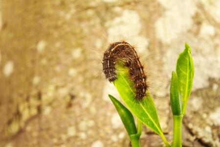 gusanos: gusanos negros en las hojas de jaca