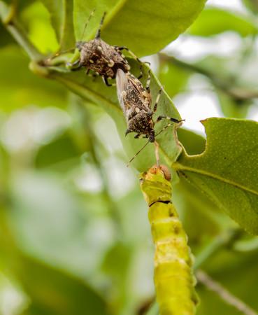 assassin: assassin bug is killing a butterfly