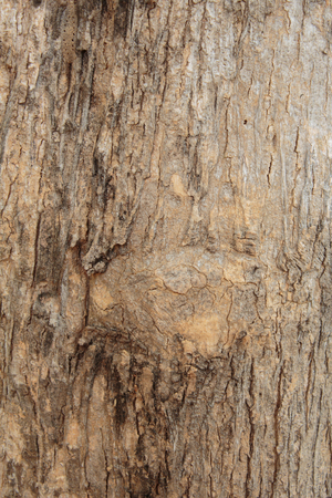 tree bark: Texture of teak tree bark background