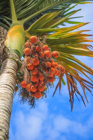 albero nocciolo: Kernel Palm su albero