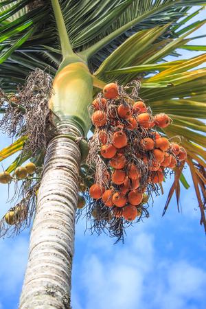 Palm kernel on tree Stock Photo