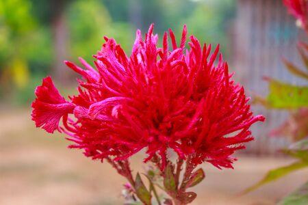 cockscomb flower on tree in garden Stock Photo