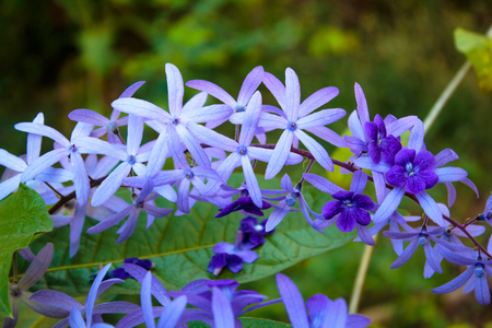 petrea: Petrea Flowers in the garden Stock Photo