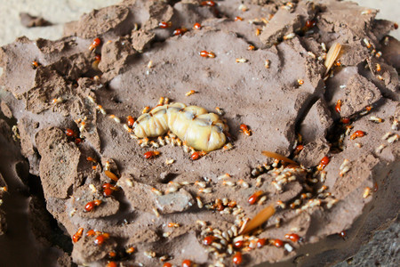 Termite queen lying in the nest. Stock Photo