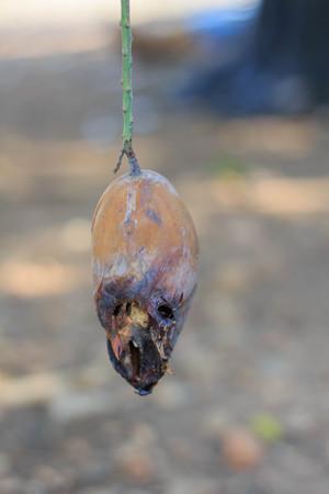 Close up Mango rot on tree Reklamní fotografie
