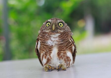 Close up Collared owlet (Collared pygmy owl)