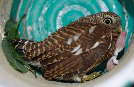 Close up Collared owlet (Collared pygmy owl) eating prey