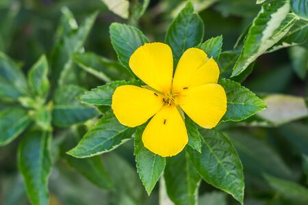 Yellow flower blooming in the garden, Ant on flower, ramgoat dashalong Stock Photo
