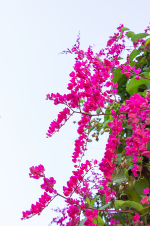 Mexican creeper, Antigonon leptopus is ornamental plant that is native to Mexico. It is a vine with pink or white flowers.