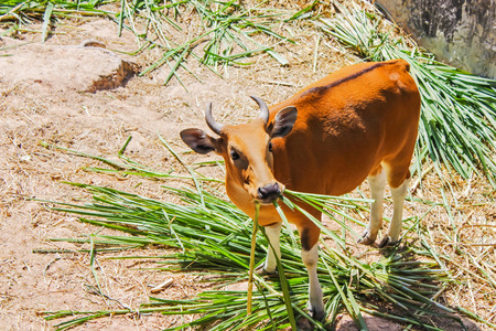 Banteng eating grass are a species of wild cattle have a distinctive character is a white band bottom in both males and female found in Southeast.