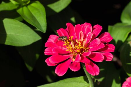 Bright red zinnia In full bloom in the garden and the bee catch on the pollen of the flower.