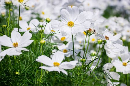 White mexican aster flowers in garden bright sunshine day on a background of green leaves. Cosmos bipinnatus.