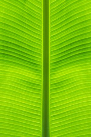 Close-up of banana leaf straight stalk at middle beautiful from green background and natural texture. Standard-Bild