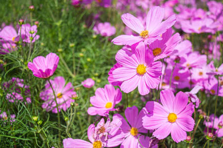 Pink mexican aster flowers in garden bright sunshine day on a background of green leaves. Cosmos bipinnatus.