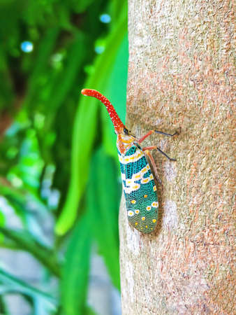 Colorful insect Cicada or Lanternflies (Pyrops candelaria) insect on tree in nature can be found of the evergreen forest and garden fruit of Thailand. Standard-Bild