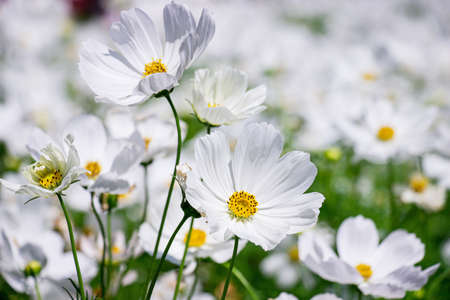 White mexican aster flowers in garden bright sunshine day on a background of green leaves. Cosmos bipinnatus. Select focus.
