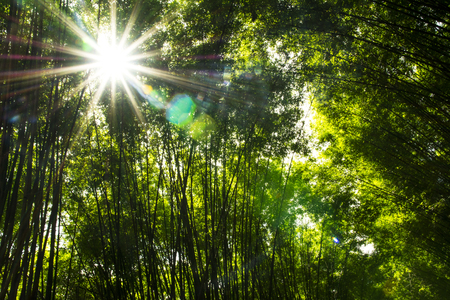 Bamboo forest with sun flare background