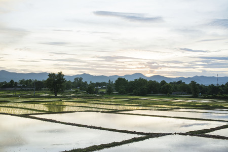 rice plant in rice paddy