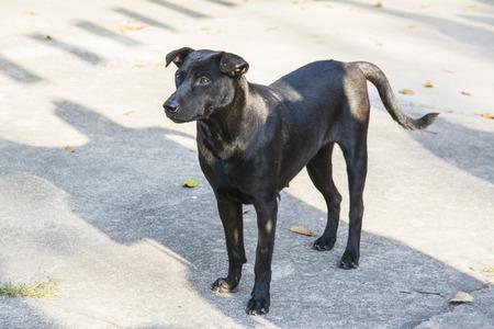 Thai black dog standing Stock Photo
