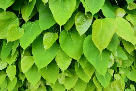 Heart-shaped green leaf background Reklamní fotografie