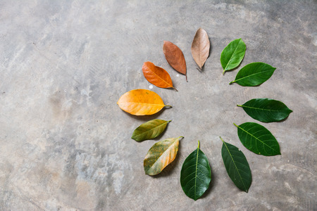 Change season concept green leaves to dry leaves on cement background Stock Photo