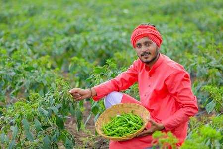 Young indian farmer collecting green chilly in wooden bowl at green chilly field