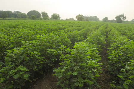 Flowering cotton gardens that have not yet been cotton