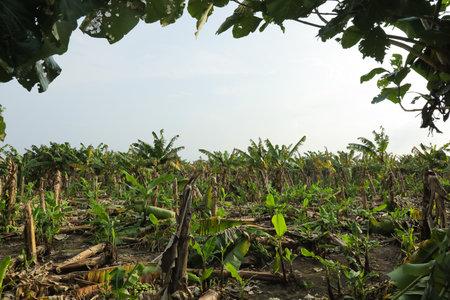 collapse banana tree at field