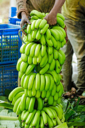 Cutting Green banana bunch at agriculture field