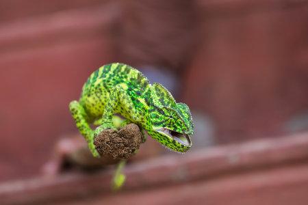 Green chameleon on wooden stick