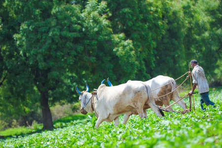 Indian farmer working at agriculture field in traditional way