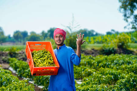 Young indian farmer collecting green chilly in plastic crates at green chilly field Banque d'images