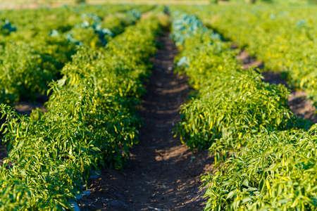 Green chili agriculture field in India Banco de Imagens