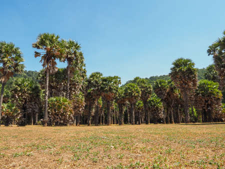 Group of Palmyra tree ( Sugar palm tree) forest with blue sky and grlass on foreground