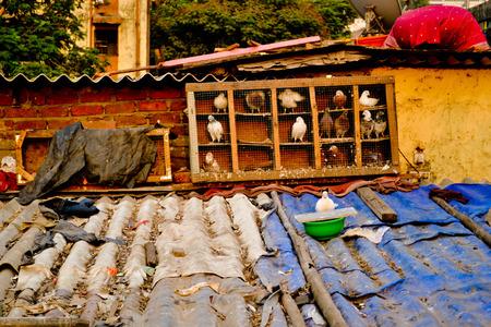 passtime: Pigeon Breeding in Mumbai Editorial