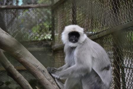 darjeeling: Langoor at the Padmaja Naidu Himalayan Zoological Park, Darjeeling Editorial