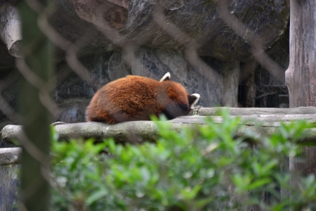 zoological: The Red Panda at the Padmaja Naidu Himalayan Zoological Park, Darjeeling