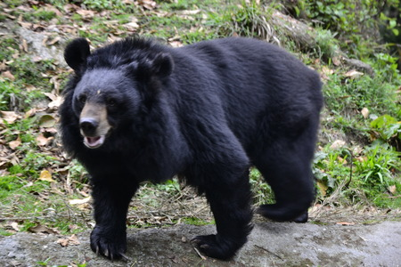 zoological: The Himalayan Black Bear, at the Padmaja Naidu Himalayan Zoological Park, Darjeeling