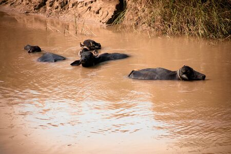 wallowing: Several buffalo wallowing in muddy water in the countryside outside