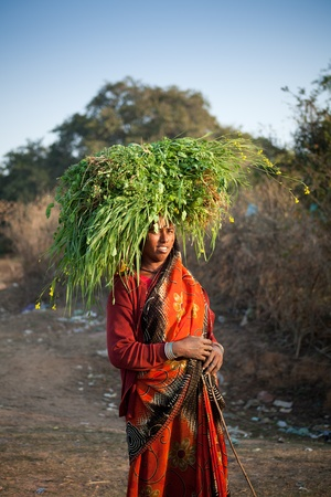 uneducated: Indian happy villager woman carrying green grass home for their livestock