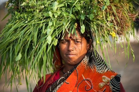 burden: Indian happy villager woman carrying green grass home for their livestock