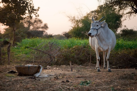 agriculture india: Indian cow in farm land in a village Stock Photo